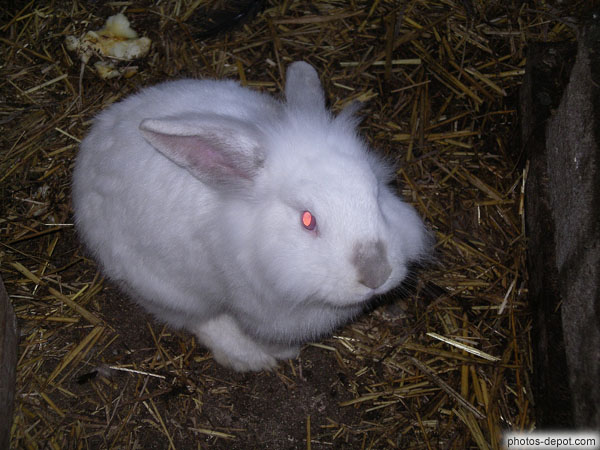 Lapin blanc dans la paille photo