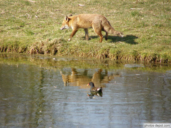 Renard et poule d'eau photo