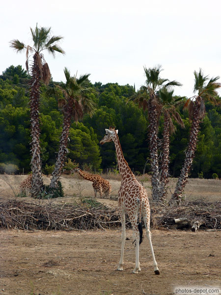 Girafes photo