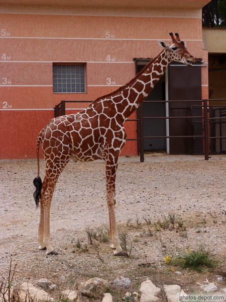 hauteur de girafe photo