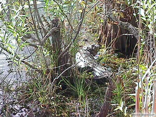 Alligator photo